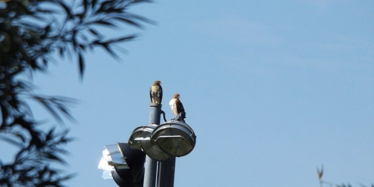 Red Tail Hawk Mom and yearling scan our waters